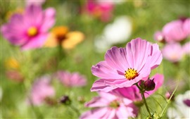 Preview wallpaper Pink cosmos, spring flowers