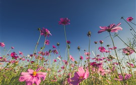 Preview wallpaper Pink flowers, cosmos, blue sky
