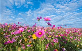 Preview wallpaper Pink flowers, cosmos, meadow, summer