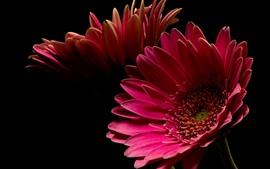 Flor gerbera rosa, pétalas, fundo preto