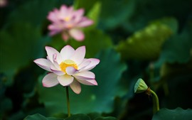 Preview wallpaper Pink lotus, flowers, green leaves