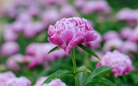 Preview wallpaper Pink peony flower, hazy