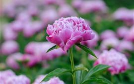 미리보기 배경 화면 분홍색 모란 꽃, 흐릿한