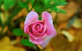 Rosa flor rosa, fotografia, pétalas