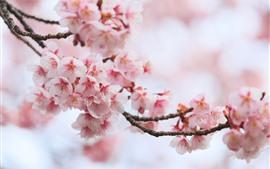 Розовый сакура, цветы, весна, цветение