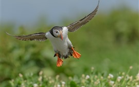 Preview wallpaper Puffin flight, wings, bokeh