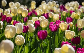 Tulipanes morados y blancos, jardín
