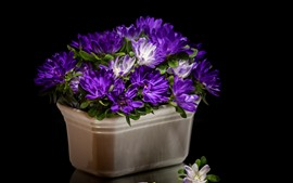 Preview wallpaper Purple asters, black background
