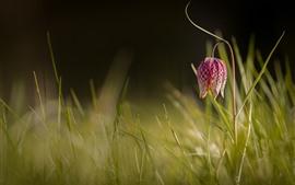 Flor roxa, grama