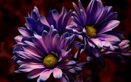 Flores púrpuras, pétalos, fotografía macro, oscuridad