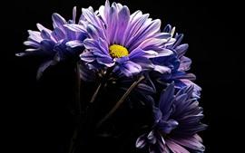 Preview wallpaper Purple gerbera flowers, black background