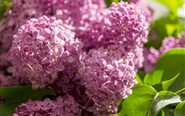 Preview wallpaper Purple lilac flowers, sunlight, green leaves