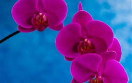 Preview wallpaper Purple phalaenopsis, petals, blue background