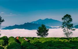 Гора Цинчуань Xiangyang, собирать чай