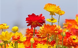 Ranunculus, red and orange flowers