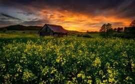 Preview wallpaper Rapeseed flowers field, hut, sunset