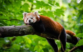 Preview wallpaper Red panda rest, tree, green leaves