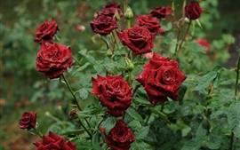 Red roses after rain, garden flowers