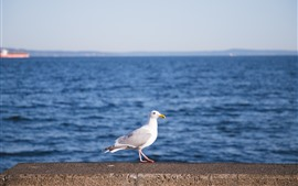 Seagull, sea, bird