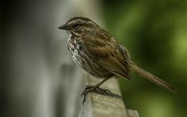 Pardal, pássaro, embaçado