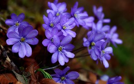 Primavera, flores púrpuras azules