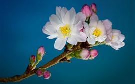 Primavera, flores cor de rosa, fundo azul
