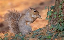 Esquilo, comer, amendoim