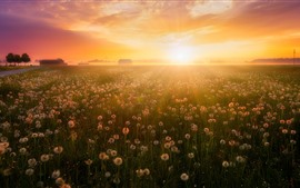 Preview wallpaper Summer, flowers, fog, dandelions, sunrise