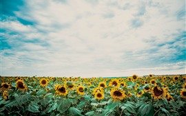 Preview wallpaper Sunflowers, blue sky, white clouds