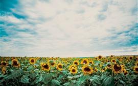 预览壁纸 向日葵,蓝天,白色云彩