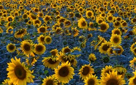 Preview wallpaper Sunflowers field, morning
