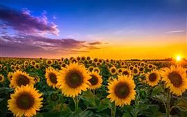 Aperçu fond d'écran Tournesols, champs, soleil, été, nuages