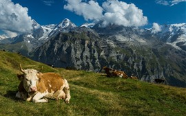Preview wallpaper Switzerland, cows, grass, mountains