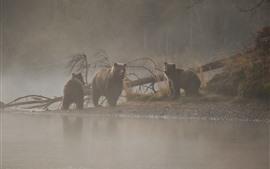 Three bears, morning, fog, river