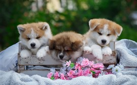 Three cute puppies, flowers