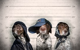Preview wallpaper Three dogs criminals, cap, funny animals