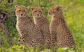 Три маленьких гепарда