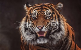 Tiger, face, open mouth, teeth, black background
