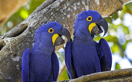 Preview wallpaper Two blue parrots, macaw