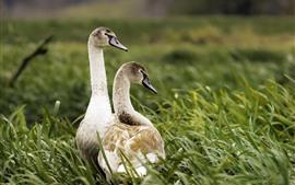Dois patos, grama