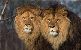 Two lions, wildlife