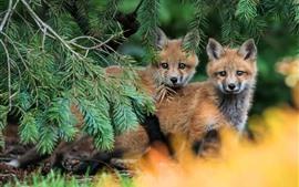Duas pequenas raposas olham, pinho