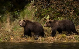 Preview wallpaper Two wet brown bears, river, grass