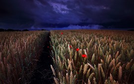 Preview wallpaper Wheat field, red flowers, clouds, night