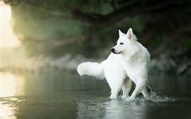 Preview wallpaper White Swiss shepherd dog, water