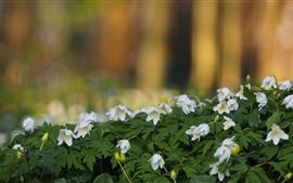 Flores brancas, anêmona, primavera