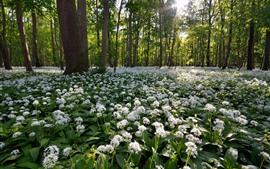 Aperçu fond d'écran Fleurs blanches, forêt, printemps