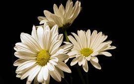 Flores blancas de gerbera, fondo negro