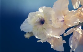 Preview wallpaper White gladiolus flowers close-up
