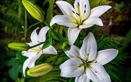 미리보기 배경 화면 백합, 꽃, 꽃잎, 봄